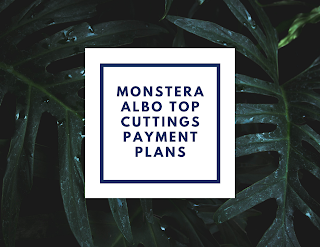 Monstera Albo Top Cuttings Payment Plan