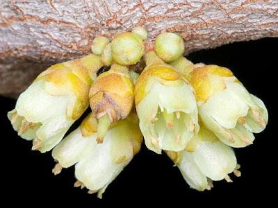 Flowers Pouteria sapota