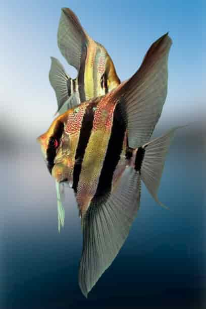 Breeding of angelfish