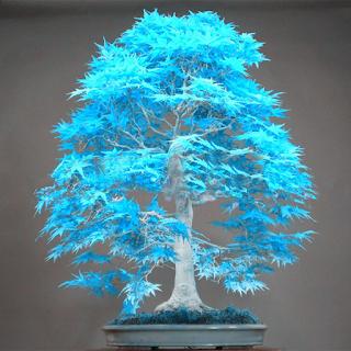 شجرة بونساي 2