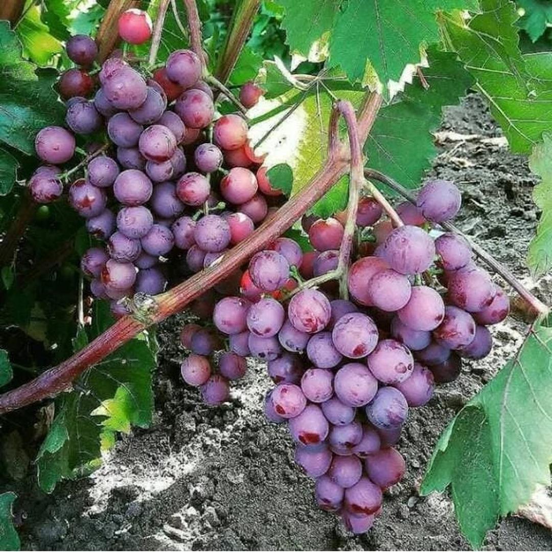 Pasti Puas! Promo Bibit tanaman buah anggur merah Kota Kediri #bibit buah langka