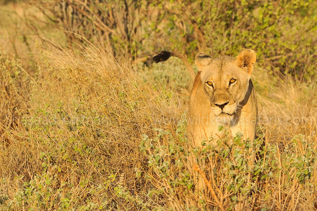 Lioness, Wildlife Photography Kenya, Photo Safaris Kenya, Wild Kenya Safaris, www.wildkenyasafaris.com, Shazaad Kasmani, 2 days safari tsavo east, 2 days safari tsavo taita hills, 2 days safari ngutuni, wildlife kenya safaris, you and nature safaris, marcopolo tours diani, diani beach safaris, vumbi safaris, dm tours diani, beach air tours diani, dream kenya safaris diani