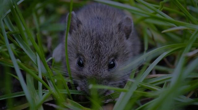 9 Cara Efektif Mengatasi Hama Tikus Pada Tanaman Padi