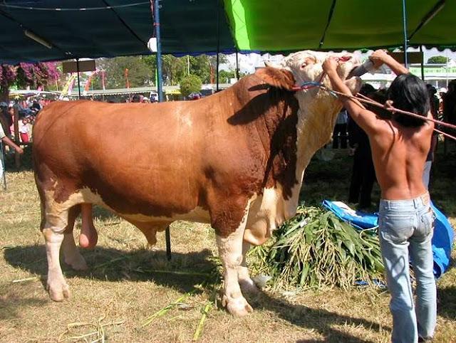 Peluang usaha dan tata cara budidaya sapi potong