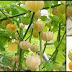 Wonderful Benefits Of Golden Berries