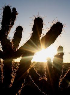 Cholla at sunset in Rio Rancho, New Mexico.