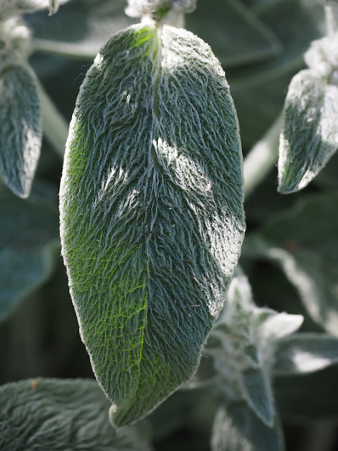 Herbaceous border Perennial plant Stachys byzantina  lambs ear-life between the flowers
