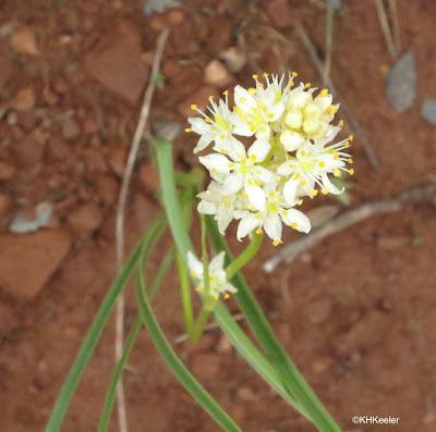 meadow deathcamas, Zigadenus venenosus