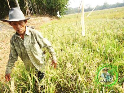 FOTO 1 :   Seminggu Lagi Panen Padi TRISAKTI di Lahan Gogorancah.  Tanaman padi Kakek admin