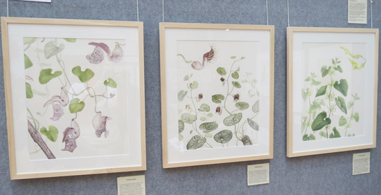 Three watercolour paintings of Aristolochias of British Botanic Gardens by Laura Silburn GM
