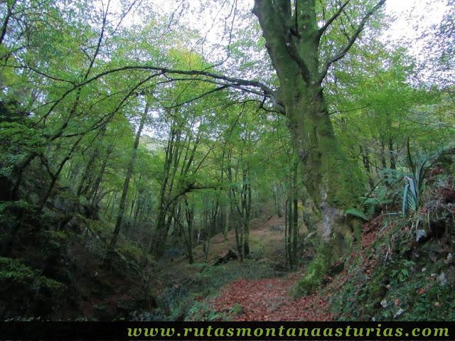 Ruta Pienzu por Mirador Fito y Biescona: Hayedo de la Biescona