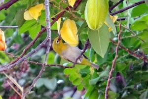 6 Makanan Burung Pleci Terbaik agar Cepat Gacor