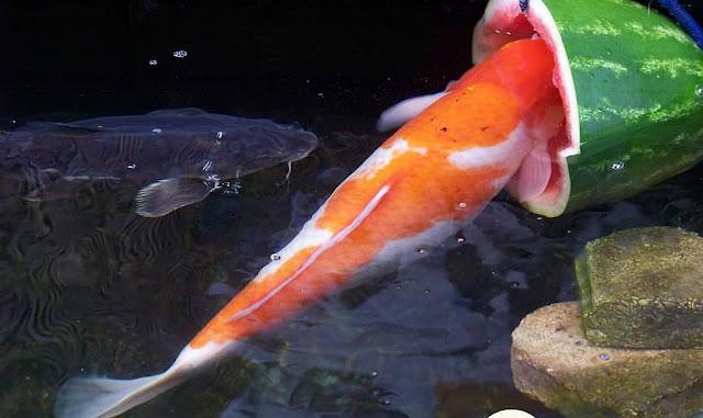 pakan alami ikan koi