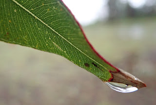 a water droplet hangs on the end of a green gum leaf
