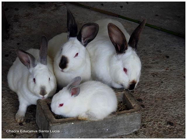 Conejos y gazapos -Chacra Educativa Santa Lucía