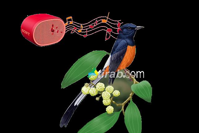 Cara jitu memaster burung kicau dengan MP3 dijamin berhasil
