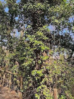 Winter Ivy above Ponteranica.