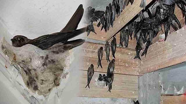 Cara Memanggil Burung Walet Agar Bersarang Di Rumah