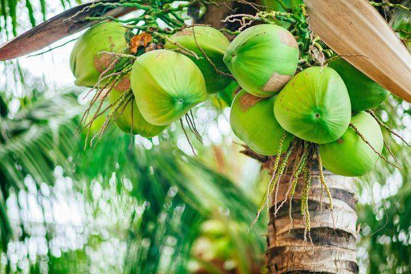 น้ำตาลดอกมะพร้าว (น้ำช่อดอกมะพร้าว)