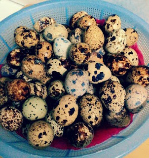 makanan kenari telur puyuh