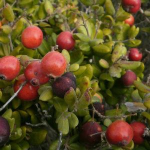 Detalle de hojas y frutos