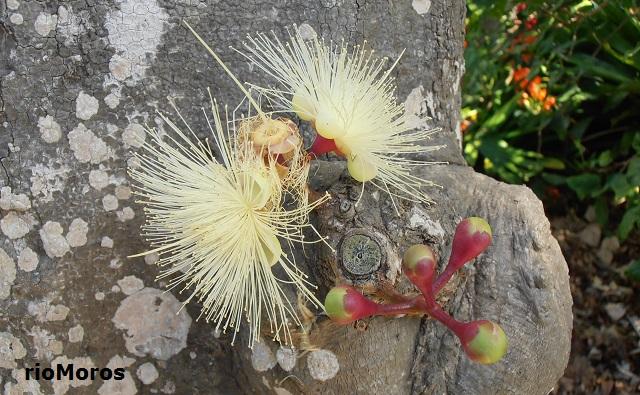 Flores de Pomarrosa Syzygium jambos
