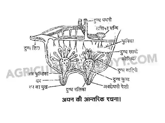 गाय एवं भैंस के अयन की संरचना, structure of udder in hindi, अयन (थनों) की आंतरिक संरचना का चित्र सहित वर्णन कीजिए, animal husbandry in hindi, agriculturestudyy