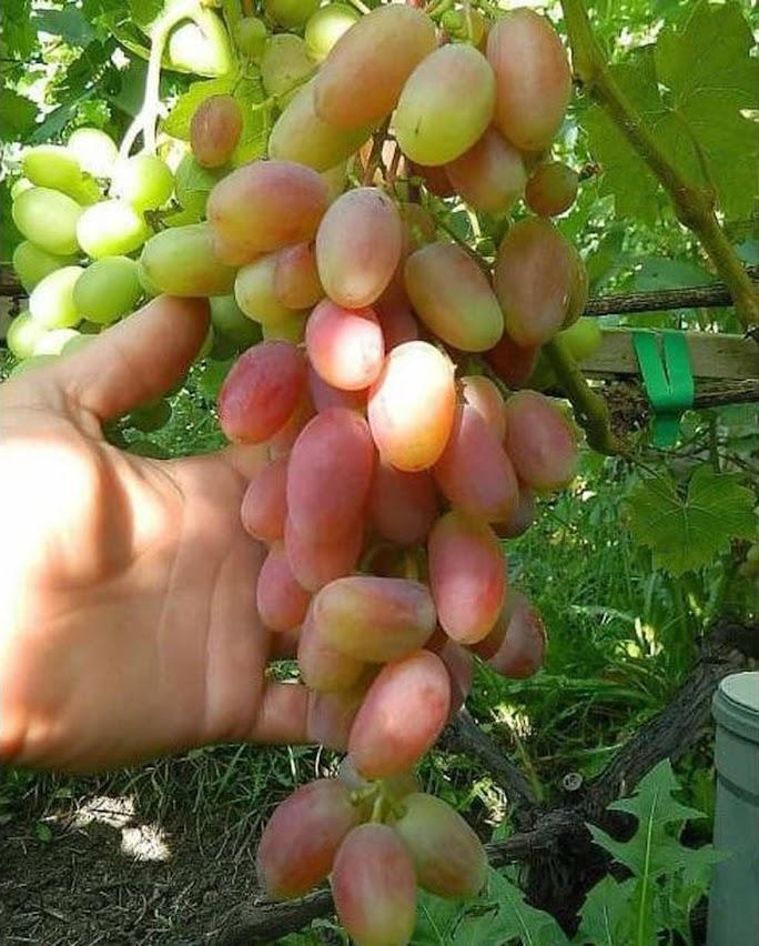 paket anggur inport trans dan anggur pohon preco Tarakan