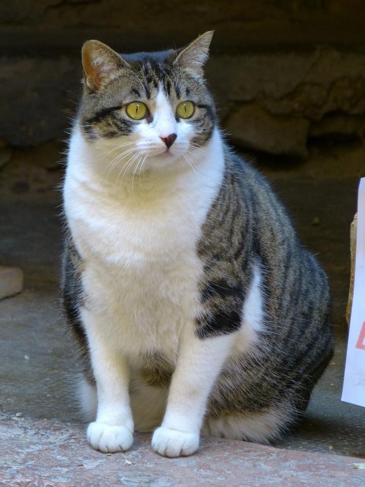 Penyebab Perut Kucing Kembung dan Cara Mengatasi