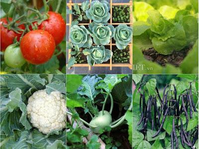Các giống rau thích hợp trồng vụ đông cho hiệu quả kinh tế cao
