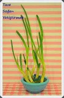 Kapalı Ortamda Yeşil Soğan  Yetiştirmek, Resimli Açıklamalı