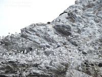 Black-billed and Red-billed gull colony on a rocky island, Kaikoura, NZ - by Denise Motard