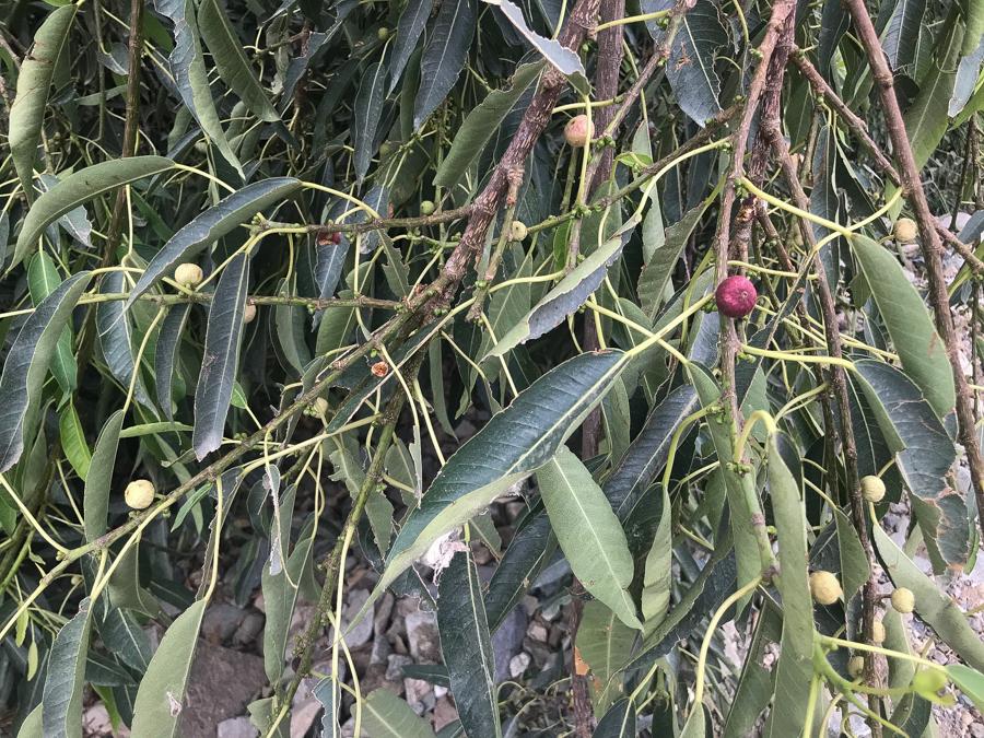 Wonderboom Fig Tree