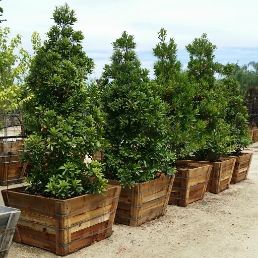 Japanese blueberry tree pros and cons