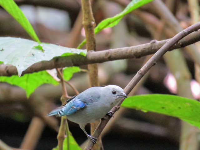 Costa Rica Birds: Blue-gray tanager