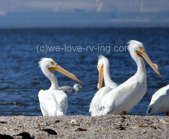 These pelicans have nice white feathers to show off