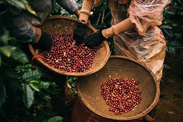 Giá cà phê hôm nay 22/4: Quay đầu giảm mạnh