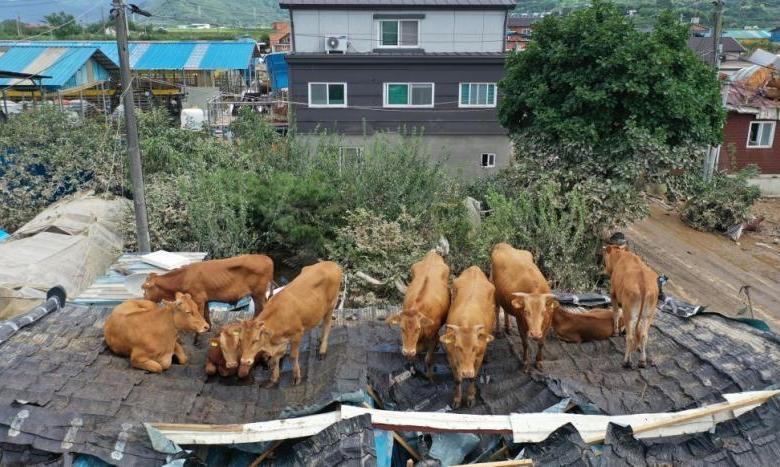 Nasib Puluhan Ekor Sapi Nyangkut di Atas Rumah Jadi Korban Banjir Korsel