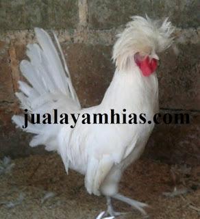 Ayam Poland Dewasa Jantan
