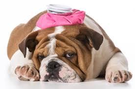 Puedo darle a mi perro Ibuprofeno