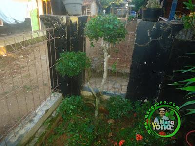 FOTO 1 : Pohon Serut saya di pojok taman mungil saya.