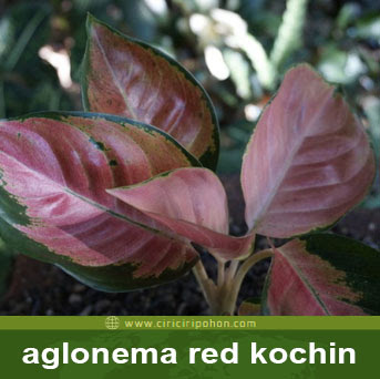 ciri ciri pohon aglonema red kochin