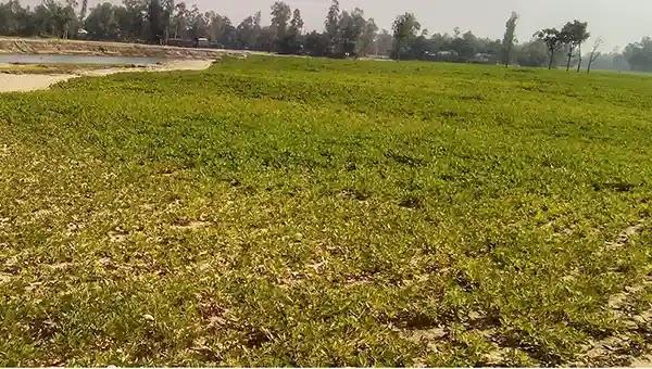 রৌমারীতে বাদাম চাষে বাম্পার ফলনে কৃষকের মুখে হাসি