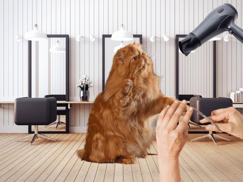 Cuidados basicos para un gato persa