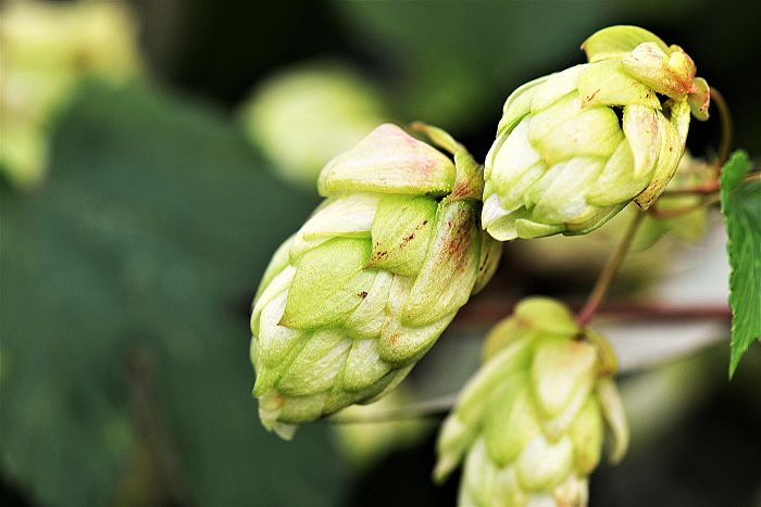 El lúpulo, uno de los ingredientes principales en la fabricación de la cerveza