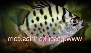 Ikan hias Silver Dollar Fish
