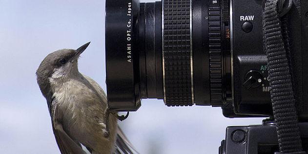 Trepatroncos enano Sitta pygmaea apoyado en lente la cámara