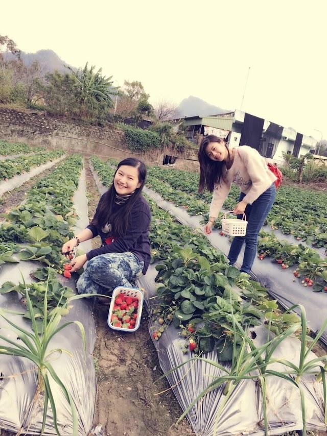 Festival Budaya Taiwan: Memetik Stroberi adalah Hal Yang Menyenangkan