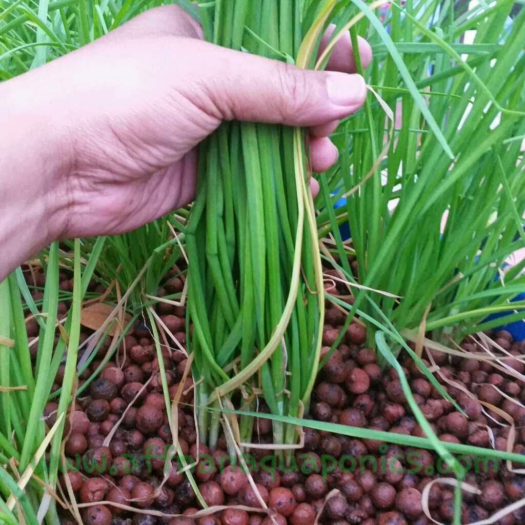 Garlic Chives Roots Affnan's aquaponics: potting garlic chives ...
