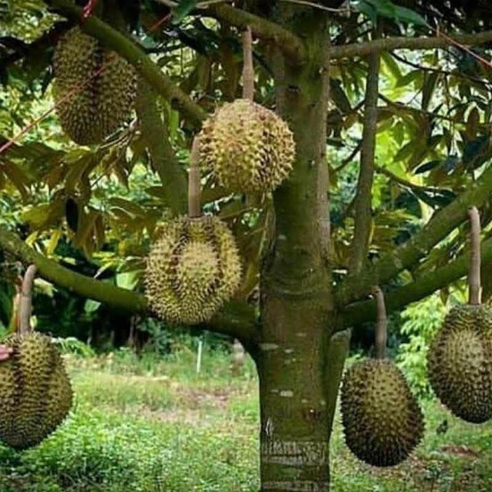 bibit durian bawor okulasi cepat berbuah Kediri